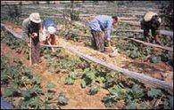 Arbeiter auf einem Sekem-Feld; Foto: www.sekem.com