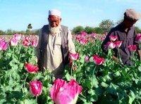 Einer von vielen Mohn Bauern in Afghanistan; Foto: AP
