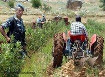 Zerstörung der Opiumernte im Libanon; Foto: dpa