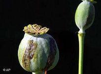 Opiumpflanze; Foto: AP