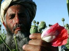 Mohnanbau in Afghanistan; Foto: AP