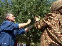Amos Oz hilft 2002 bei der Olivenernte in Palästina; Foto: AP
