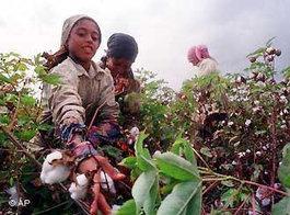 Baumwollpflückerinnen in Ägypten; Foto: AP