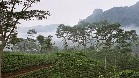 Teeplantage in Sri Lanka; Foto: CC Anjadorra