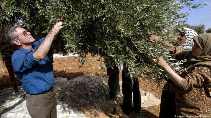 Amos Oz (l.) bei der Olivenernte im Westjordanland; Foto: picture-alliance/dpa