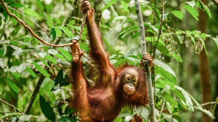 Ein junger Borneo-Orang-Utan schwingt sich durch den Urwald; Foto. ARD/Panorama