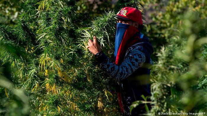 Bisher verboten, aber nicht selten toleriert: Cannabis-Anbau in Marokko; Foto: Fadel Senna/Getty Images/AFP.