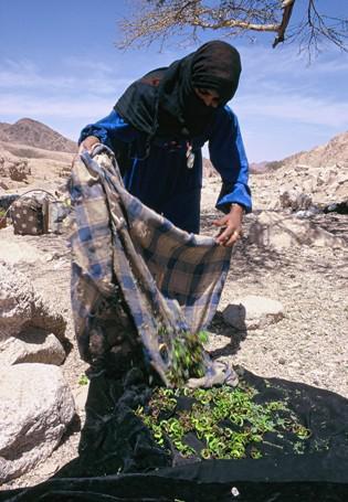 Beduinin sammelt Frischfutter