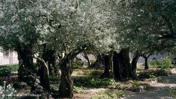 Olivenbäume im Westjordanland; Foto: Reuters