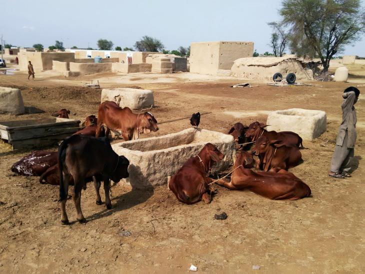 Rinder ruhen sich auf dem Wüstenboden aus. Foto: Usman Mahar