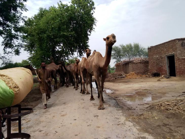 Kamelherden in Punjab, Pakistan. Foto: Usman Mahar