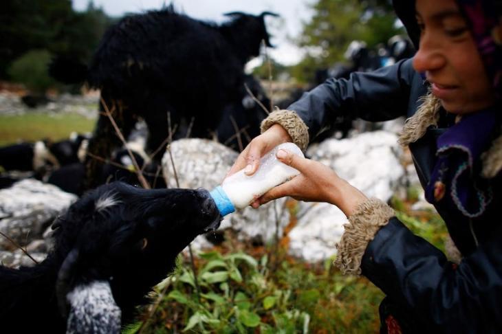 Eine junge Ziege bekommt Milch; Foto: Reuters/Osman Orsal