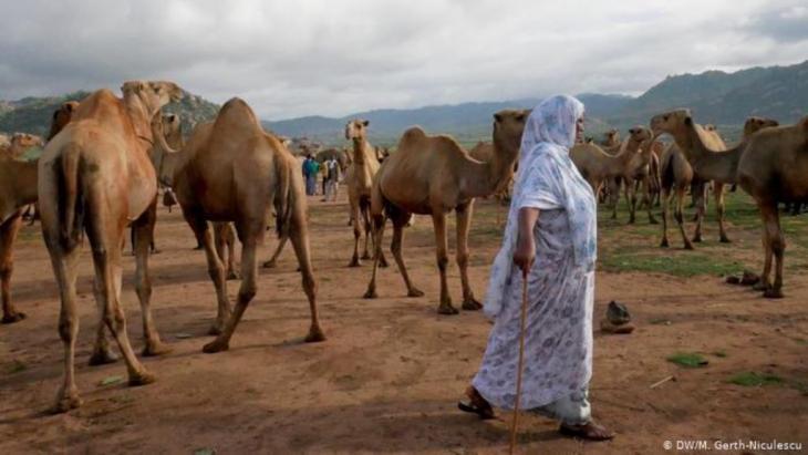 Kamele außerhalb von Harar, Äthiopien (DW/M. Gerth-Niculescu)