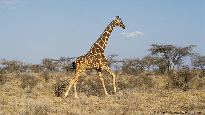 Giraffe läuft in der Savanne (photo: Imago/Anka Agency International)