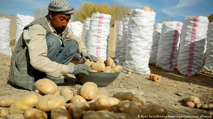 Ein Mann sammelt Kartoffeln vom Boden auf