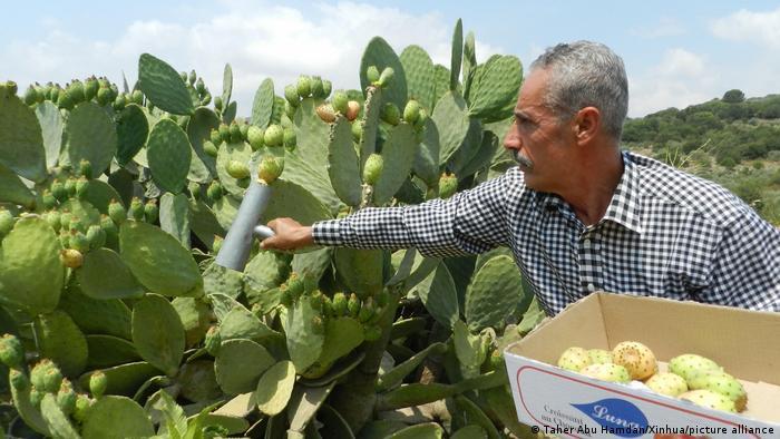 Libanesischer Bauer bei der Ernte