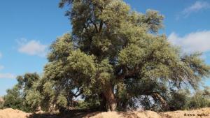 Olivenbäume werden im Norden Afrikas seit Tausenden von Jahren angepflanzt. Das Olivenöl ist bis heute ein wichtiger Bestandteil libyscher Gerichte. Außerdem wird es wegen seiner heilenden und aufbauenden Eigenschaften geschätzt. Und natürlich auch, um Öllampen am Brennen zu halten.
