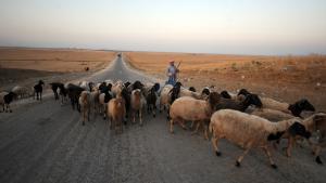 Hirte mit Schafen in Tunesien; Foto: Getty Images/AFP/F. Belaid