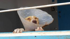 """Ein sterilisierter """"Beldi""""-Hund nach medizinischer Behandlung in Agadir, Marokko; Foto: Regina Keil-Sagawe"""