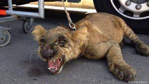 """Die libanesische Regierung ergreift Maßnahmen: Dieser gerettete Löwe war für eine TV-Show gedacht. In der Regel verkaufen Zoos ihre Tiere jedoch an private Eigentümer. Damit könnte nun Schluss sein. Der libanesische Landwirtschaftsminister Akram Chehayeb hat angekündigt, """"alle Tiere von illegalen Händlern und Läden zu beschlagnahmen. Diese Tiere gehören nicht in einen Käfig oder ins Haus als Symbol von Macht und Reichtum."""""""