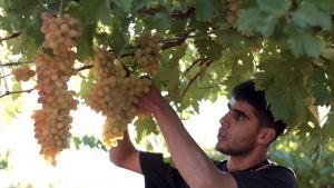 Früh am morgen beginnen die Arbeiter mit dem Auflesen der Trauben auf der Al-Natsheh-Plantage. Etwa fünfzehn Helfer sind in der Erntesaison damit beschäftigt, die Trauben zu sammeln und in Kisten zu verpacken.
