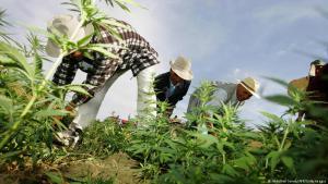 Cannabis-Anbau in der Region Larache, Marokko; Foto: DW