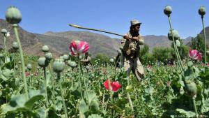 Afghanische Sicherheitsbeamte beschlagnahmen ein Mohnanbaugebiet im Noor Gal-Distrikt in der Provinz Kunar am 29. April 2014; Foto: Getty Images/AFP/N. Shirzada
