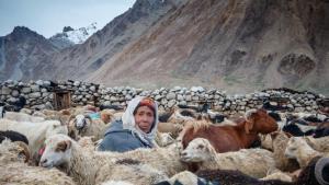 """Am Ende des Tages melkt eine Wakhi-Schäferin im Pferch ihre Herde. Sie trägt einen """"Kilt"""", einen bunt bestickten Wakhi-Hut, den nur die Ältesten tragen. Ihr Arbeitsalltag ist geprägt vom Hüten und Melken der Schafe und der Herstellung traditioneller Arten von Käse und Yakbutter."""