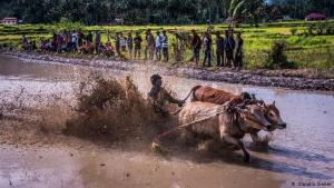 """Bullen-Surfen auf Sumatra: Wenn die Reisernte auf Sumatra beendet ist, treten die Bauern der Region zum """"Pacu Jawi"""" (Bullenrennen) an. Ein frisch abgeerntetes Reisfeld dient als Rennstrecke."""